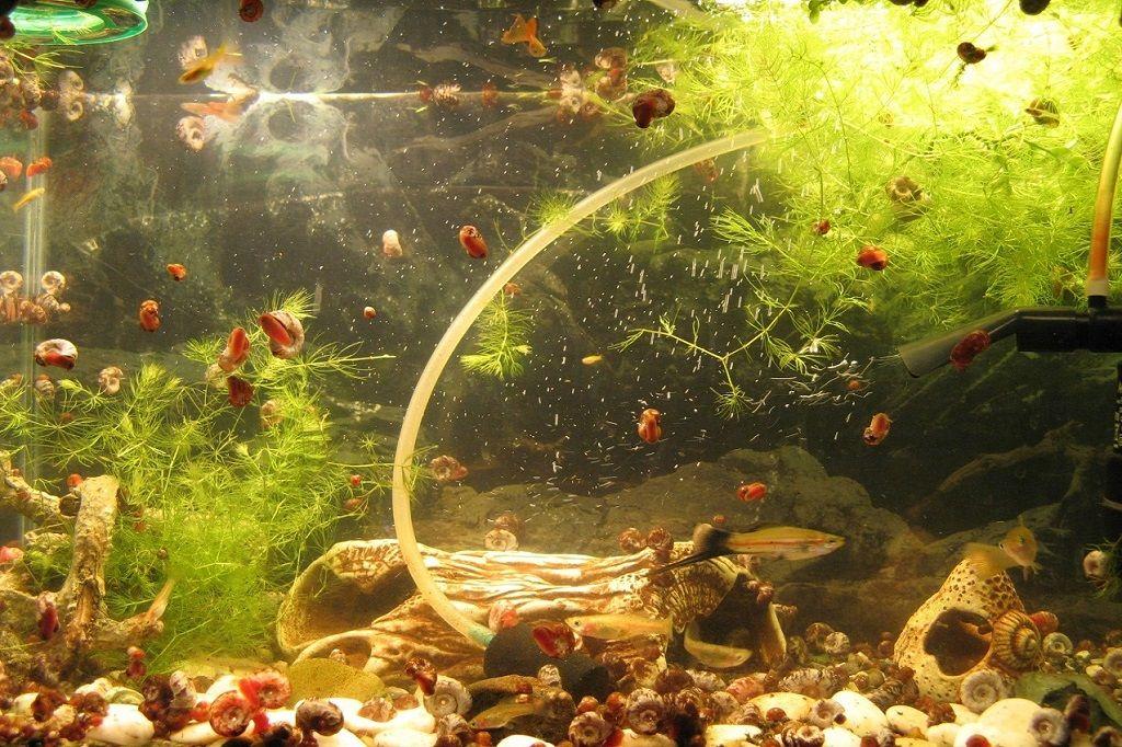 ulitki-katushki-v-akvariume-osobennosti-polza-i-vred-14.jpg