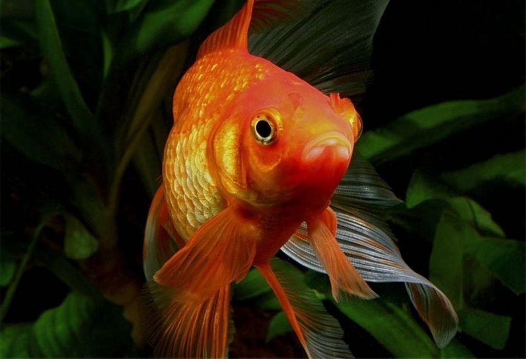 лекарство для золотых рыбок