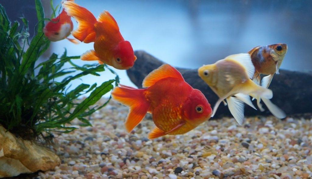 заболевания золотых рыбок